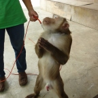 Monkey Boners in Mae Rim* and Songkran in Chiang Mai